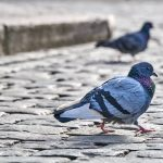 Control of Feral Pigeons in localities