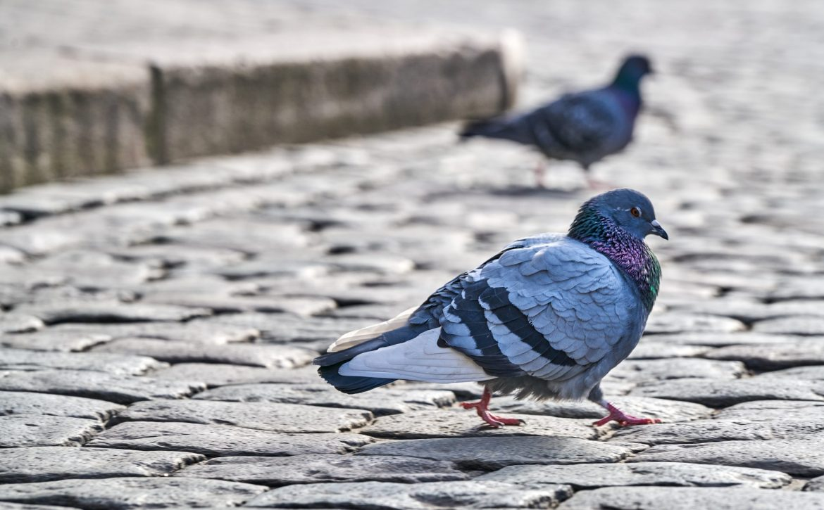Front,View,Of,The,Face,Of,Rock,Pigeon,Face,To